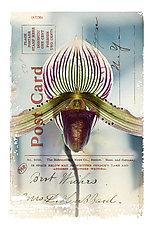 Orchid Card by Kevin Sprague (Giclée Print)