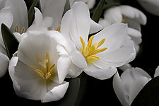 White Tulips by Katherine Morgan (Color Photograph)