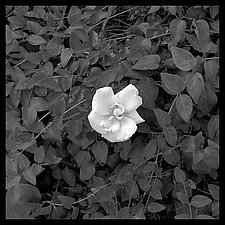Gardenia Wall Panel by Jenny Lynn (Black & White Photograph)