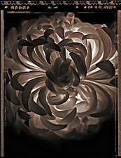 Chrysanthemum by Allan Baillie (Black & White Photograph)