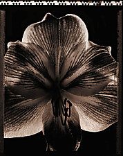 Amaryllis by Allan Baillie (Black & White Photograph)