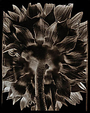 Sunflower Back by Allan Baillie (Black & White Photograph)