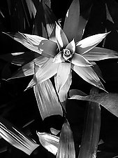 Bromeliad I by Joni Purk (Black & White Photograph)