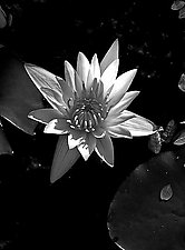 Lotus III by Joni Purk (Black & White Photograph)