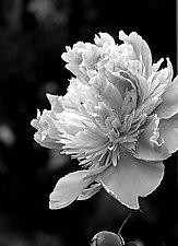 Peony I by Joni Purk (Black & White Photograph)