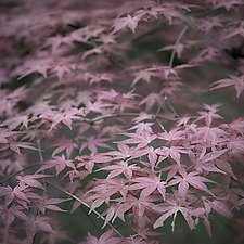 Japanese Maple in Spring No.1 by Steven Keller (Color Photograph)