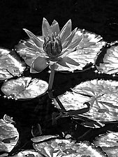 Lotus I by Joni Purk (Black & White Photograph)