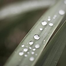 Dew Drops on Grass Blade No.1 by Steven Keller (Color Photograph)