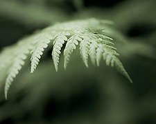 Summer Fern, Close-up No.1 by Steven Keller (Color Photograph)