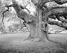Angel Oak by Paul Shatz (Black & White Photograph)