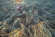 Frozen Grasses by Tim Forcade (Color Photograph)