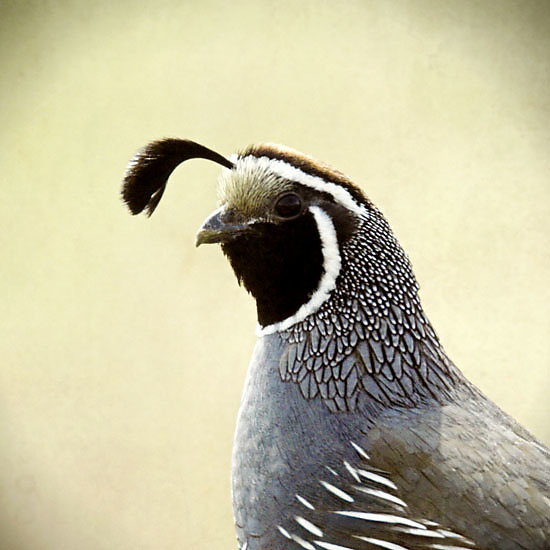 Morning Quail