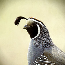 Morning Quail by Yuko Ishii (Color Photograph)