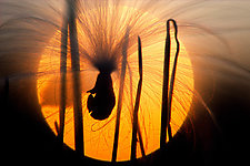 Milkweed Seed In Sunset 20 x 30 by Richard Speedy (Color Photograph)