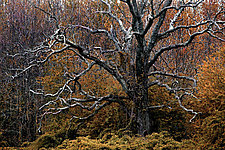 Sleepy Hollow Tree 20 x 30 by Richard Speedy (Color Photograph)