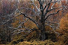 Sleepy Hollow Tree 20 x 30 by Richard Speedy (Color Photograph)