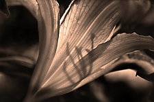 Lily of Shadow 24 x 16 by Richard Speedy (Color Photograph)