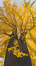 Ginkgo Grand Day Out by Joseph Hyde (Color Photograph)