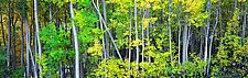 Aspen Grove by Terry Thompson (Color Photograph)