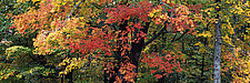 New England Maples by Terry Thompson (Color Photograph)
