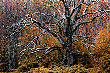 Sleepy Hollow Tree by Richard Speedy (Color Photograph)