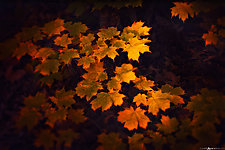 Golden Maple Leaves by Matt Anderson (Color Photograph)