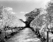 Vineyard Row by Elizabeth Holmes (Black & White Photograph)