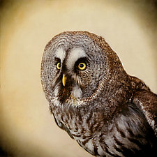 Great Gray Owl I by Yuko Ishii (Color Photograph)