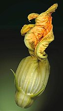 Squash Blossom 007 by Raphael Sloane (Color Photograph)