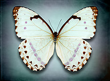 Morpho Epistrophus Catenaria (Underside) by Dario Preger (Color Photograph)