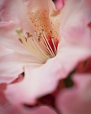 Close Up of Pink Rhododendron 1 by Steven Keller (Color Photograph)