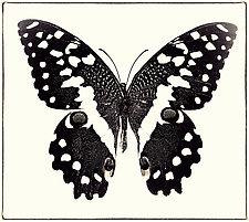 Papilio Demodocus No. 2 by Dario Preger (Black & White Photograph)