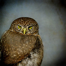 Song of a Northern Pygmy Owl II - Extra Large by Yuko Ishii (Color Photograph)
