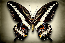 Papilio Gigon (Underside) by Dario Preger (Color Photograph)
