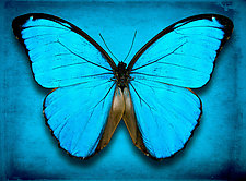 Morpho Menelaus by Dario Preger (Color Photograph)