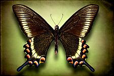 Papilio Maackii Maackii (Underside) by Dario Preger (Color Photograph)