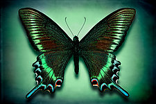 Papilio Maackii Maackii by Dario Preger (Color Photograph)