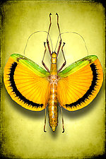 Tagesoidea Nigrofasciata Female by Dario Preger (Color Photograph)