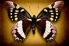 Papilio Warscewiczi (Underside) by Dario Preger (Color Photograph)