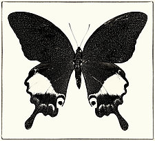 Papilio Paris No. 5 by Dario Preger (Black & White Photograph)