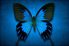 Papilio Ulysses by Dario Preger (Color Photograph)