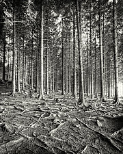 Forest II (The Social Network) by Geoffrey Agrons (Black & White Photograph)