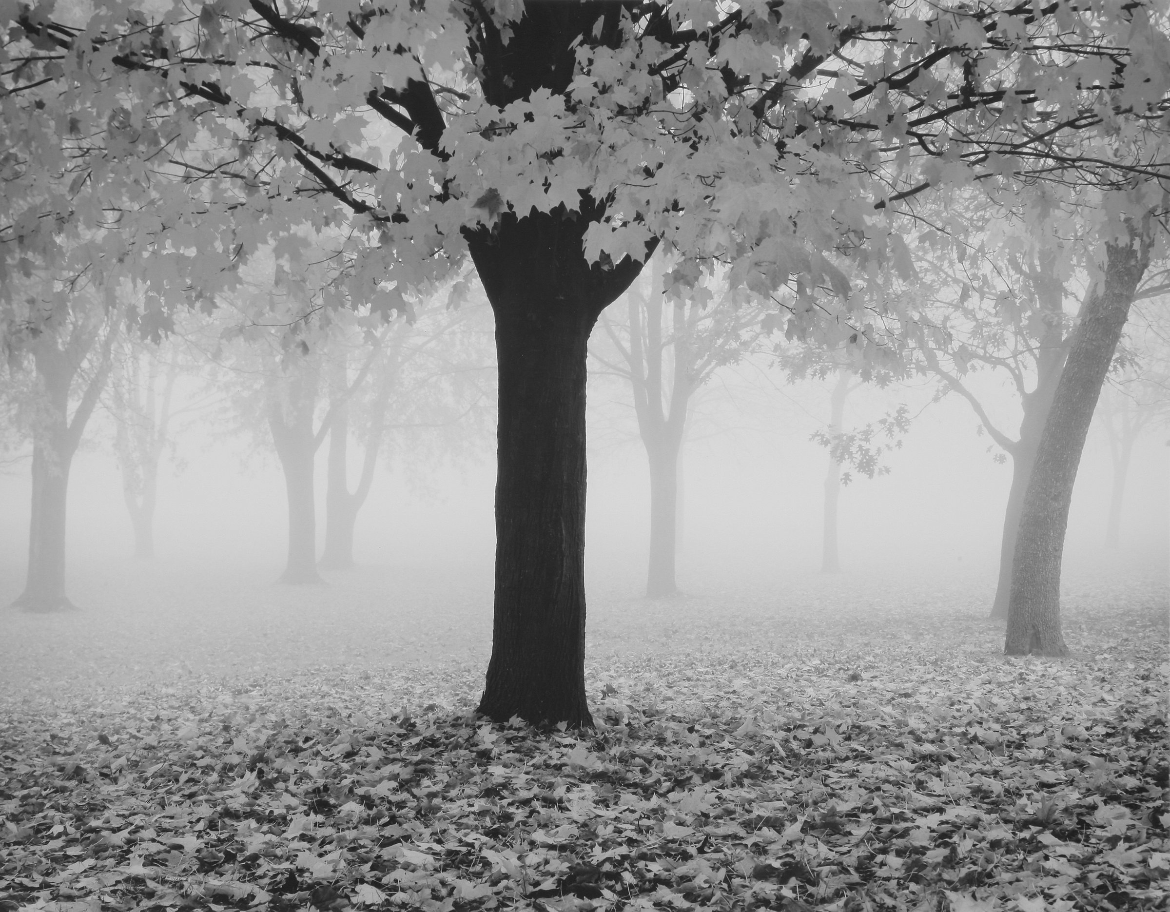 Maple tree and fog by william lemke black white photograph artful home