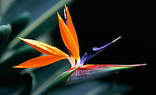 Bird of Paradise by Terry Thompson (Color Photograph)