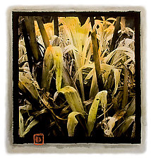 Winter Lilies by Dar Spain (Hand-Colored Photograph)