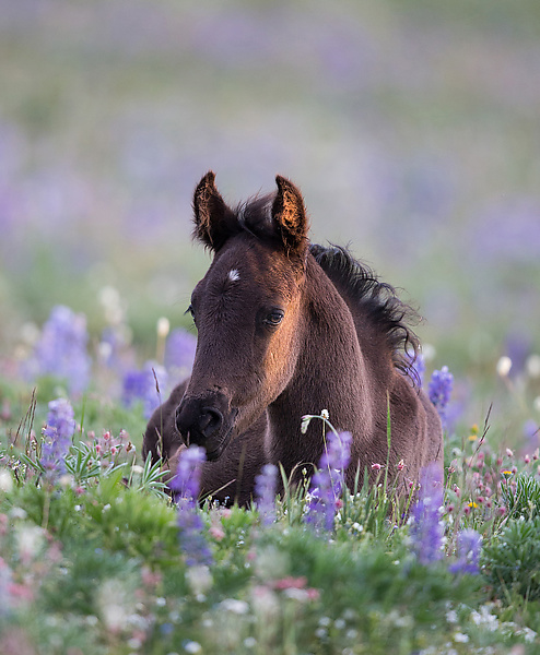 The Filly in the Lupine