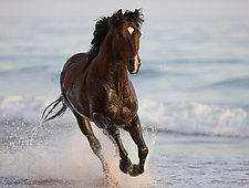 The Stallion Runs on the Beach by Carol Walker (Color Photograph)
