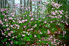 Sourland Mountain Bloom by Richard Speedy (Color Photograph)