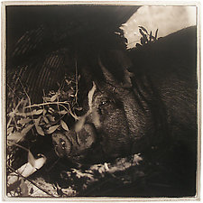 Berkshire Boar, 2006 by Janet Woodcock (Black & White Photograph)