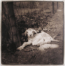 Spring Lamb, 2005 by Janet Woodcock (Black & White Photograph)